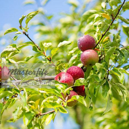 Apple tree brunch