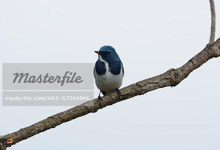 beatiful male Ultramarine Flycatcher (Ficedula superciliaris) possing on the branch