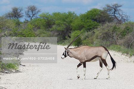 Gemsbok antelope (Oryx gazella) crossing a gravel road