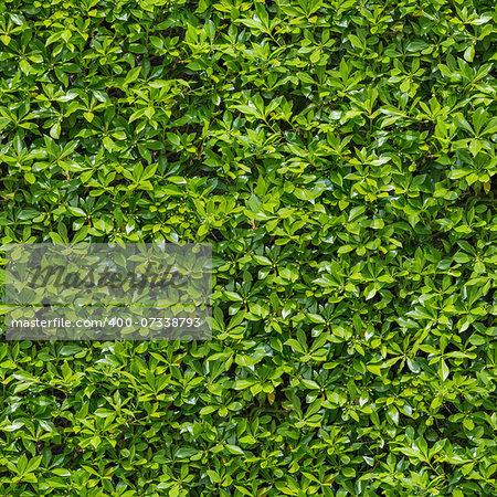 Seamless Tileable Texture of Green Bush.