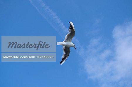 black-headed gull flight  with beautiful blue sky background