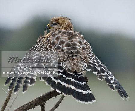 Red Shouldered Hawk  In Florida Circle B Bar Reserve