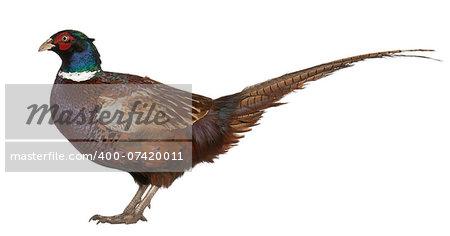 Male European Common Pheasant (Phasianus colchicus), is a bird in the pheasant
