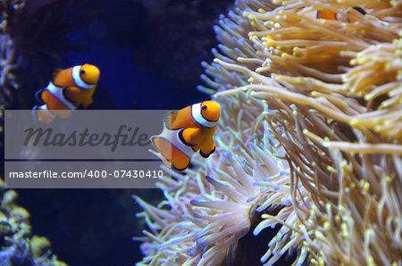 Cute orange white clown fish in the reef.