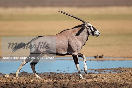 Gemsbok antelope (Oryx gazella) at a waterhole running, Kalahari desert, South Africa