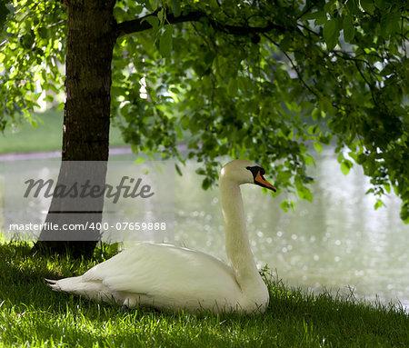 Mute swan on grass under tree
