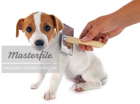 portrait of a purebred puppy jack russel terrier in studio