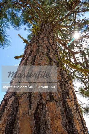 A Ponderosa Pine (Pinus ponderosa) viewed from below with sun.