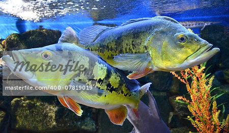 Cichla grouper fish in the aquarium