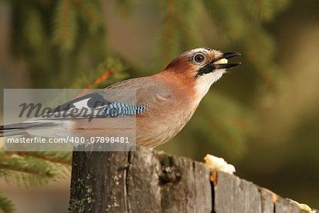 hungry eurasian jay ( Garrulus glandarius ), hungry bird eating pieces of bread on a stump