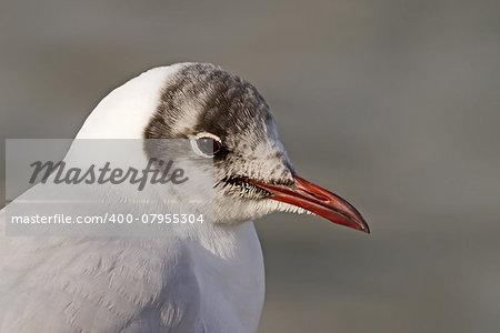 A close-up of a Black-headed Gull (Larus ridibundus)