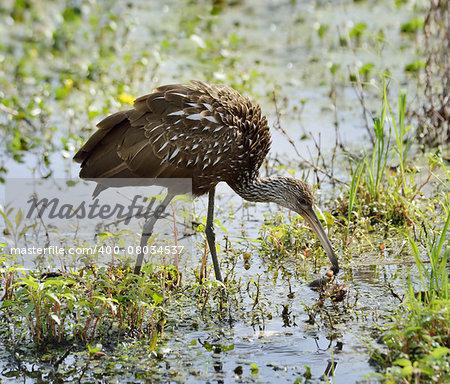 Limpkin Bird Feeding In Florida Swamp, USA