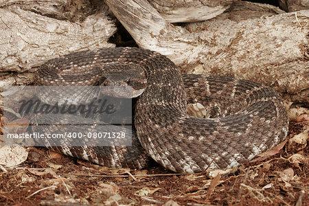 Portrait of a Southern Pacific Rattlesnake (Crotalus viridis helleri).