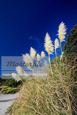 Toi toi plant on the edge of a beach , North island, New Zealand