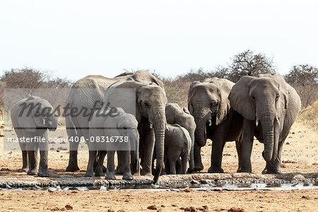 A herd of African elephants drinking at a muddy waterhole, Etosha national Park, Ombika, Kunene, Namibia. True wildlife photography