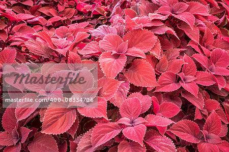 red leaf foliage background - ornamental redhead coleus shrub