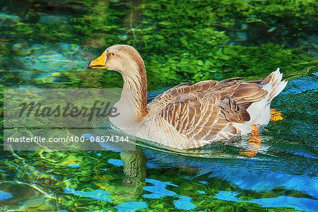 Grey Goose Swimming in the Lake