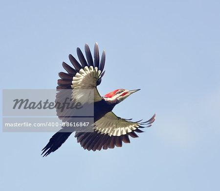 Male Pileated Woodpecker in Flight