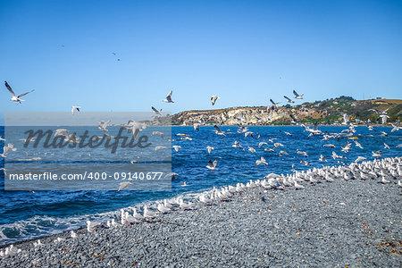 Seagulls flying on Kaikoura beach, New Zealand