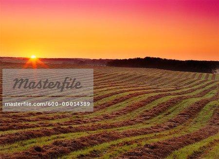 Swathed Field at Sunrise Near Edmonton, Alberta, Canada