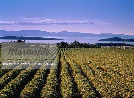 Potato Field St. Lawrence River Near Riviere-du-Loup, Quebec Canada