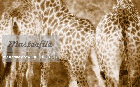 Close-Up of Giraffes Kruger National Park South Africa