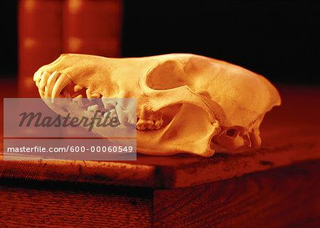 Animal Skull on Corner of Desk
