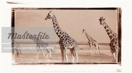Herd of Reticulated Giraffe, Samburu National Park, Kenya, Africa