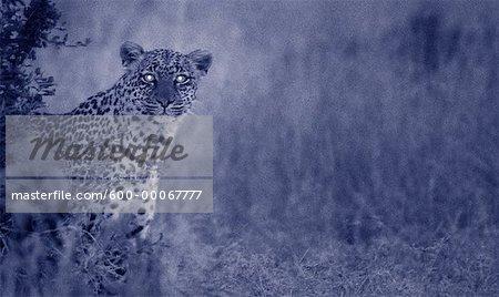 Portrait of Leopard at Night, Maasai Mara Game Reserve, Kenya, Africa