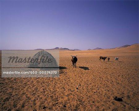 Cattle near Hut in Kunene River Region,Namibia