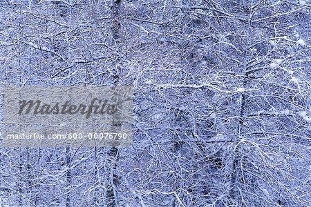 Snow Covered Tamarack Trees, Algonquin Provincial Park, Ontario, Canada