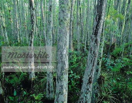 Cypress Trees and Bromeliads Corkscrew Swamp Sanctuary, Florida Everglades, USA