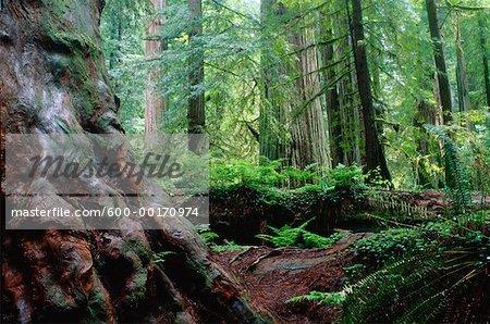 Redwood Forest, Redwood Forest National Park, California, USA