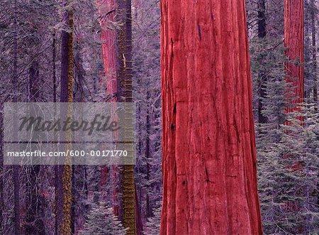 Sequoia Tree, Sequoia National Park, California, USA