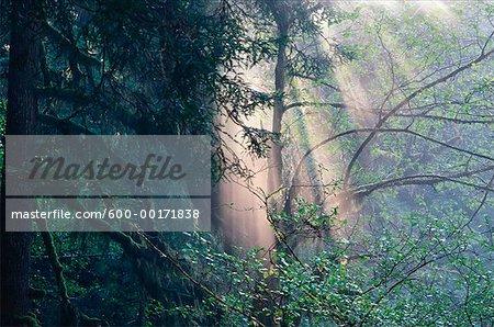 Sunrays, Prairie Creek Redwoods State Park, California, USA