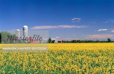 Farm, Rapeseed Field, near Casselman, Ontario, Canada