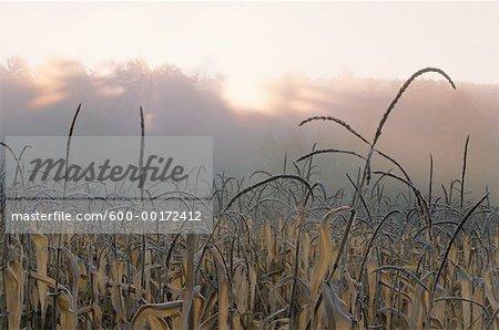 Corn Field at Sunset New Hampshire, USA