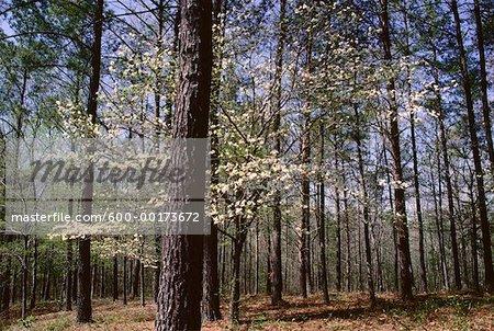 Pine Trees & Dogwood in Spring near Birmingham, Alabama, USA