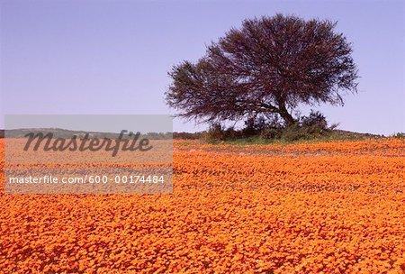 Tree in Field of Wildflowers, Karkhams Area, South Africa