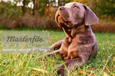 Neapolitan Mastiff Puppy - Stock Photo - Masterfile