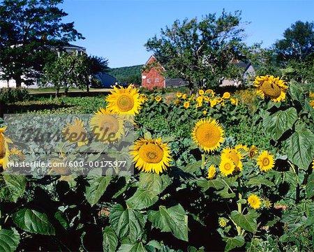 Sunflowers, Hopewell Cape, Bay of Fundy, New Brunswick, Canada