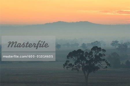 Eucalyptus Tree and Morning Fog, Carroll, New South Wales, Australia