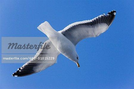 Slaty-backed Gull, Rausu, Hokkaido, Japan