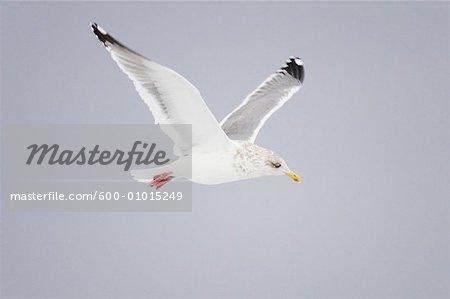 Gull in Flight, Hokkaido, Japan