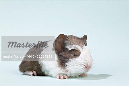 Portrait of Baby Guinea Pig