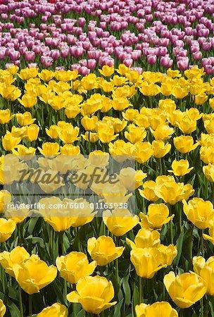 Tulips, Commissioner's Park, Ottawa, Ontario, Canada