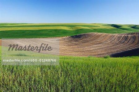 Wheat Field near Colfax, Palouse Region, Whitman County, Washington, USA