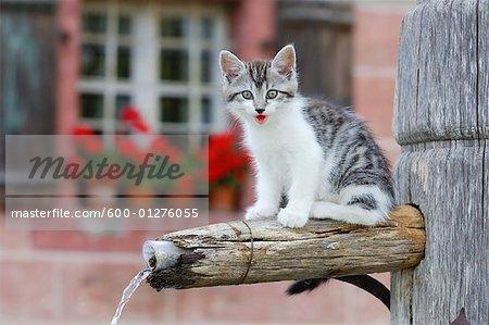 Kitten on Water Fountain