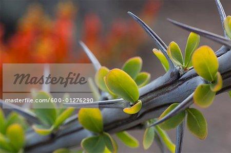 Close-Up of Ocotillo Cactus