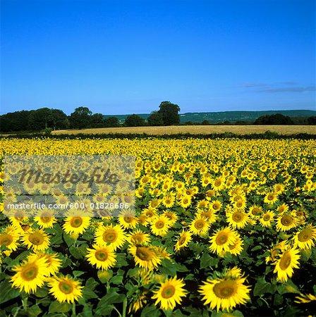Sunflower Field, Bourgogne, France